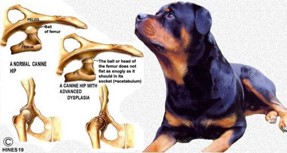 Fat Rottweiler Problems: Consequences Can Be Life-Threatening