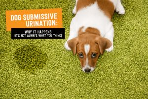 Dog Submissive Urination: Why it Happens