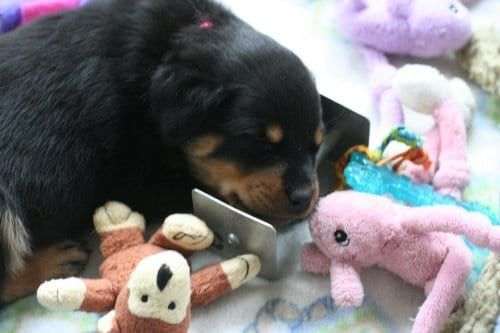 9 Signs Your Rottweiler is Taking Over the House
