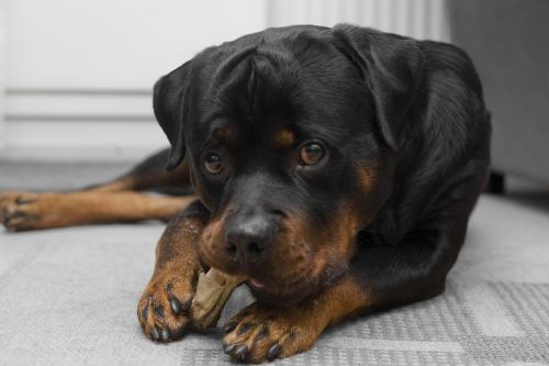 Is Your Rottie Getting A Lil Too Naughty? Here's How You Can Fix Destructive Chewing Of Your Rottweiler