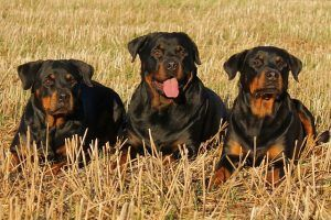 3 Things All Rottweiler Owners Should Know