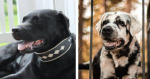 Internet Goes Crazy Over Beautiful Labrador That Amazingly Changes Colors