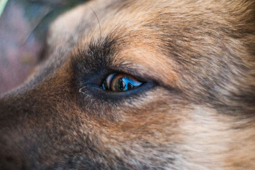 Horner's Syndrome in Dogs -Symptoms, Diagnosis and Treatment