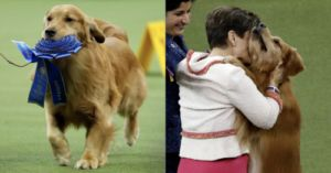 Daniel The Golden Retriever Is The Real Westminster Dog Show Winner