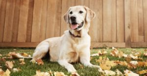 Is Your Labrador Susceptible to Allergies? Breed-Specific Info About These Social Butterflies