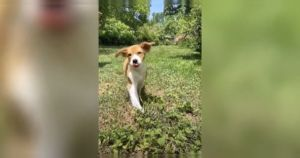 Little Puppy With Disability Has Adorable Wobble And An Incredible Spirit