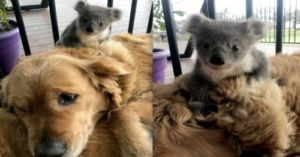 Golden Retriever Keeps Lost Baby Koala Warm In Her Fur