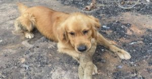 Elated Golden Retriever's Discovers His Favorite Toy Survived the Australian Fire