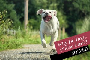 Why Do Dogs Chase Cars?