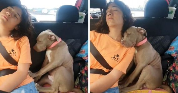 Tired Pittie Pup Naps On His Favorite Human's Shoulder After A Long Day