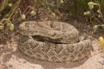 Help Your Dog Avoid Snakes-And Survive a Snake Bite