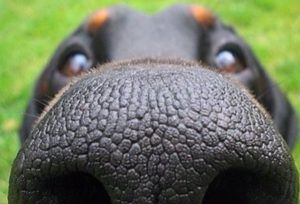 New Study Finds Dogs Can Sniff Out Lung Cancer with 97% Accuracy