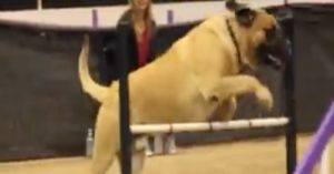 Giant English Mastiff Competes in Agility Contest and it is Adorable