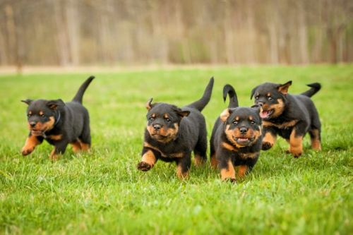 Keeping Your Rottweiler Positive And Cheerful Is Important Both For You And Them