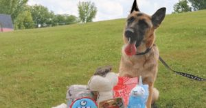German Shepherd Shot In Head Seeks Animal Rescue For Help