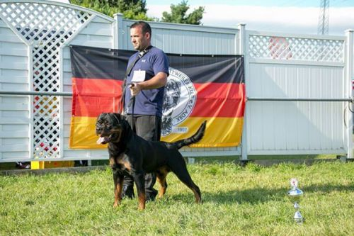 Differentiate Between American And German Rottweiler With These American Rottweiler Vs German Rottweiler Pictures?