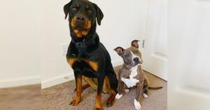 Patient Rottweiler Takes Emaciated Puppy Under Her Wing
