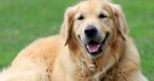 20 Photos That Prove Retrievers Are The Most Lovable Pups Around