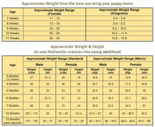 Following The Rottweiler Weight Chart: Here's What You Need To Know