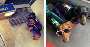 Adorable Dachshund Pups Go To Work With Their Fed Ex Driver Dad