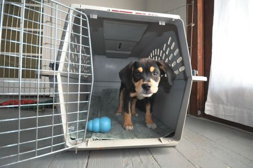 Crate Training Your Rottweiler Is Easier Than You Think