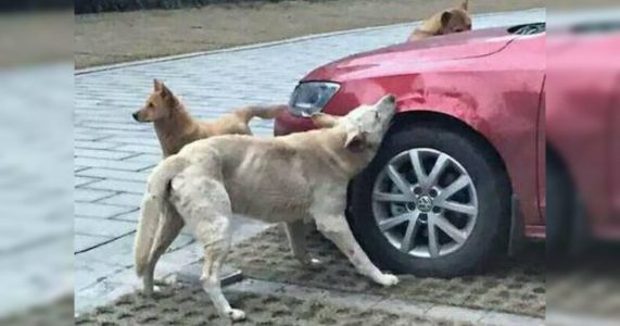 Dog And Friends Enact Revenge On Cruel Driver's Car