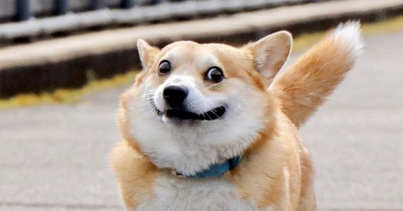 Meet Gen The Corgi: The Most Expressive Dog In The World