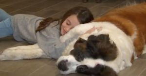 Family Adopts Terminally Ill St. Bernard After Her Human Passes Away