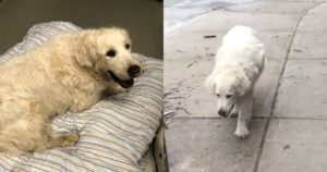 Grieving Dad Takes Senior Dog With Cancer On Last Walk To Vet