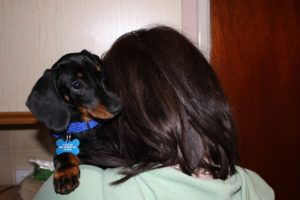 5 Signs Your Dachshund Is Head Over Paws for You