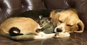 Beagle Adopts Baby Possum After Losing Her Puppies