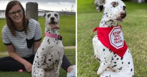 Dalmatian Whose Legs Were Cut Off In A Chinese Slaughterhouse Rescued