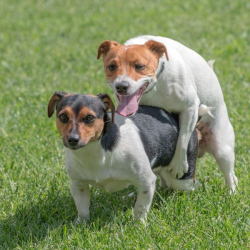 Why Do Female Dogs Hump? Reasons for Female Dog Humping