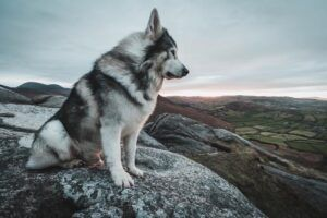 """Game Of Thrones """"Direwolf"""" Passes Away From Cancer"""