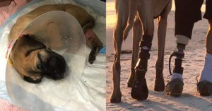 UPDATE: Adorable Rescued Great Dane Puppy Gets a New Leg and New Life - and Now a New Family!