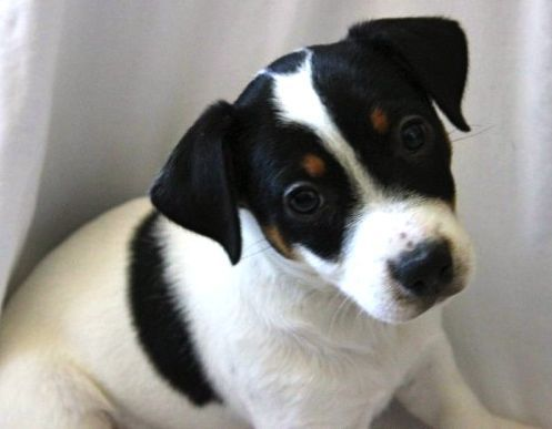 Is a Jack Russell Terrier the right breed for you?