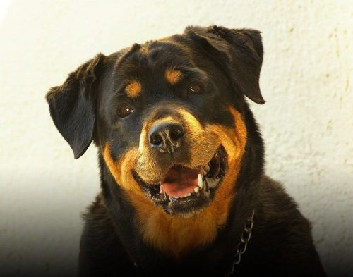 7 Tips For You To Conquer Your Rottweiler