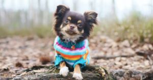 Is Your Chihuahua Susceptible to Allergies? Breed-Specific Info About These Sassy and Classy Dogs