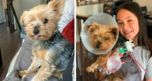 Tiny Yorkie Fights Off Coyote To Keep Her 10-Year-Old Human Sister Safe