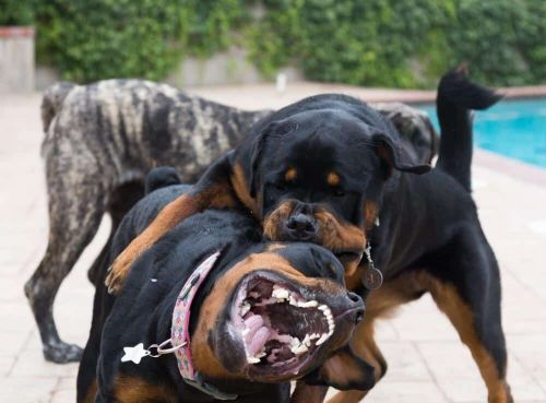 How Dangerous Is A Rottweiler Fight?