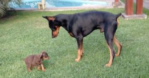 It's Puppy Vs. Adult Doberman In This Adorable Video